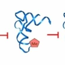 Rolle von DNMT2 in der cellulären Stressantwort