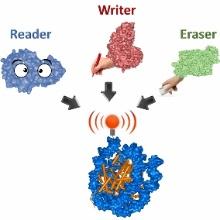 Epigenetische Signale an Nukleosomen werden von Schreibenzymen (