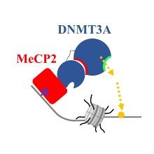 Schema der Interaktion von DNMT3A und MeCP2