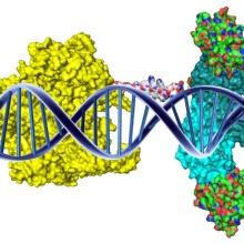 Die Abbildung zeigt ein einen Cas-DNMT3 Komplex an DNA gebunden.