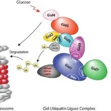 Schema des Aufbaus der GID E3 Ligase