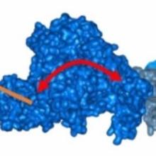 Posttranslationale Modifikationen regulieren die Konformation und damit die Aktivität von Enzymen.