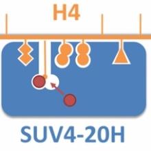 Schema der Substraterkennung von SUV4-20H Enzymen